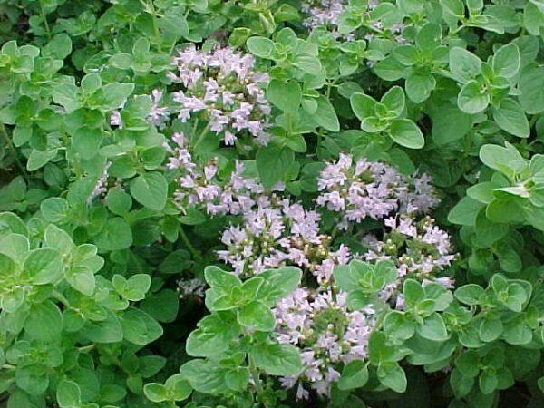 Oregano-Wild (Origanum vulgare)